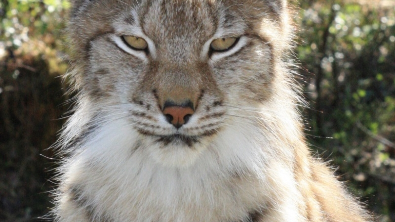 Close-up image of a lynx's head.