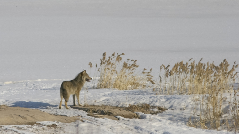A wolf is standing on a snowy lake in the middle of reeds.
