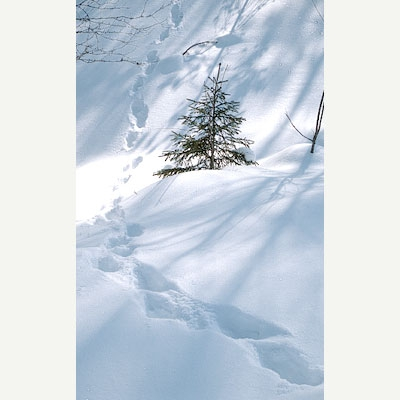 Wolverine footprints in deep snow next to a small spruce.