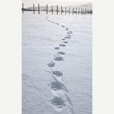 Typical triple wolverine footprint on the snow surface. A continuously repeating, slanted line of triple footprints