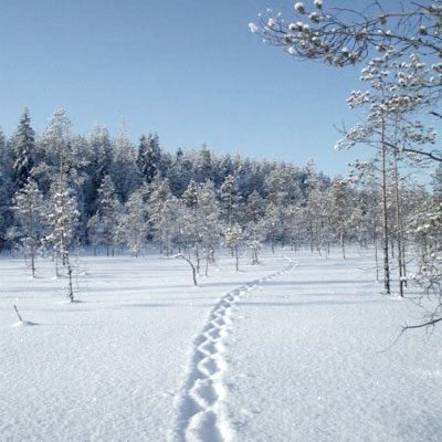 Tracks of a jumping wolverine in soft snow in the mire, with forest in the background.