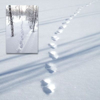 Paired, jumping wolverine tracks in the snow. The other, smaller image shows the same type of tracks in the forest.