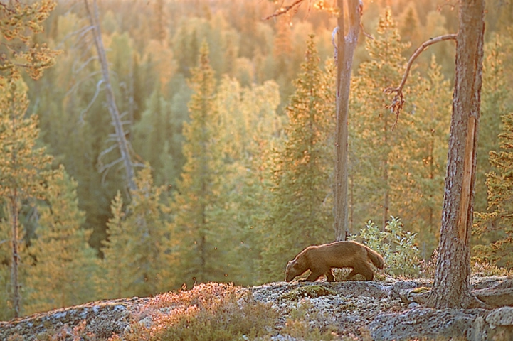 Wolverine walking on rock in an autumn forest at sunset.