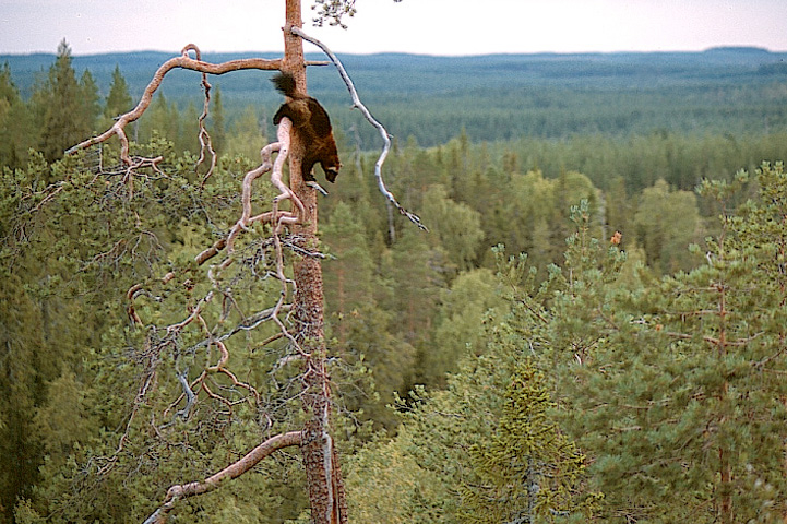 Wolverine climbing down the trunk of a tall pine. A forest is in the background.