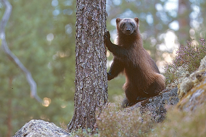 Wolverine on a forest ridge, leaning on a spruce trunk with its front paws. Wolverine looking at the camera curiously.