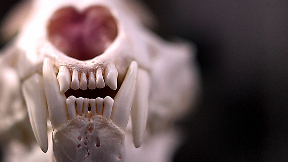 A close-up of lynx skull, showing carnassial teeth, front teeth and nostril.