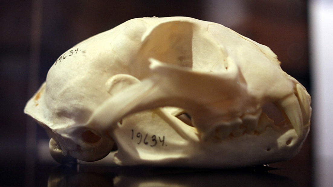 Close-up shot of a lynx skull, taken from the side. Numbers have been drawn on the skull with a felt-tip marker.