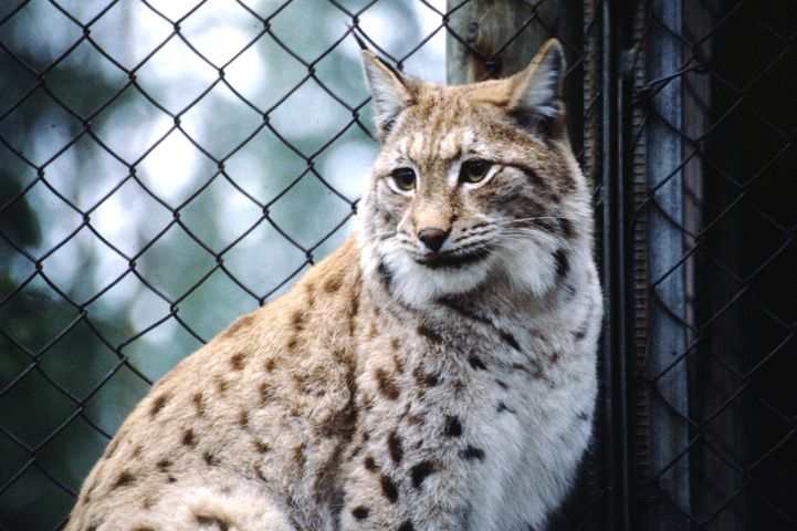 Close-up shot of a sitting lynx. Chain-link fence in the background.