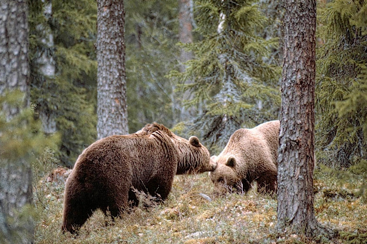 Bear couple getting to know to one another in a forest