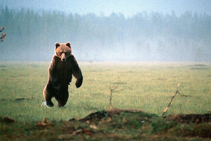 Bear is threateningly standing