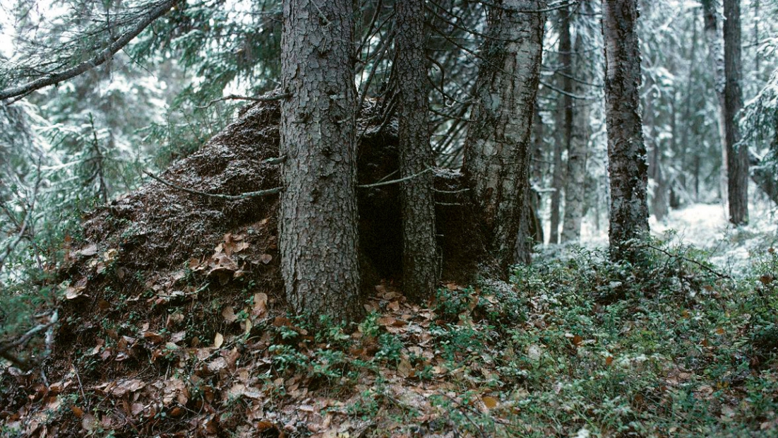 Bear's nest in a forest, first snow in autumn.