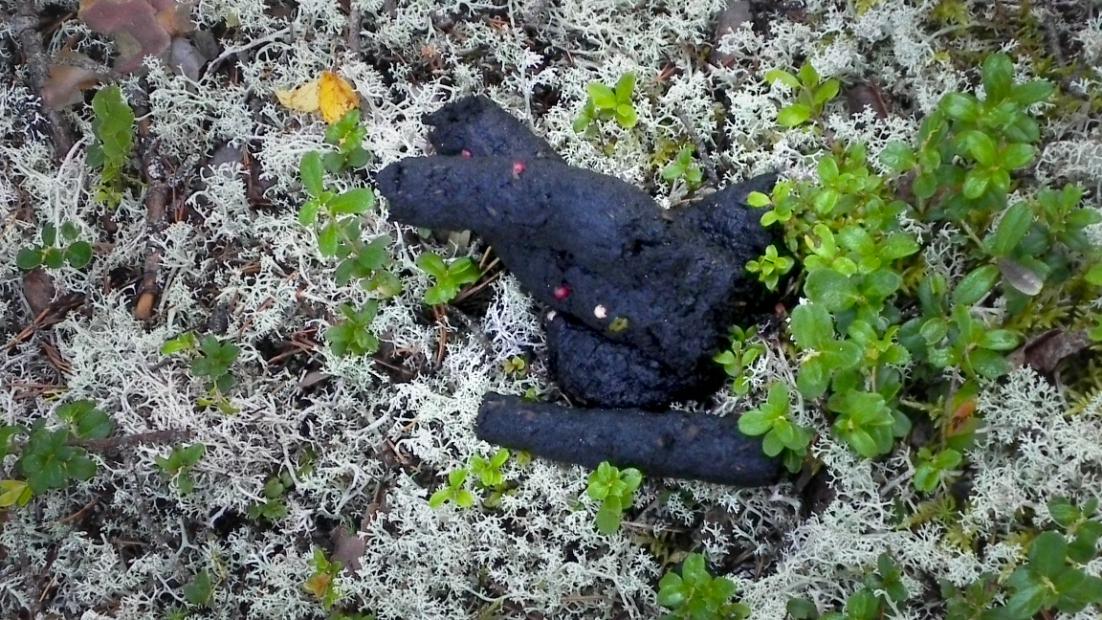 Bear's faeces on the ground.