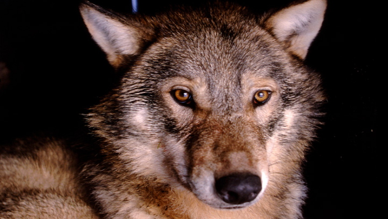 A wolf named Petrus being GPS collared.