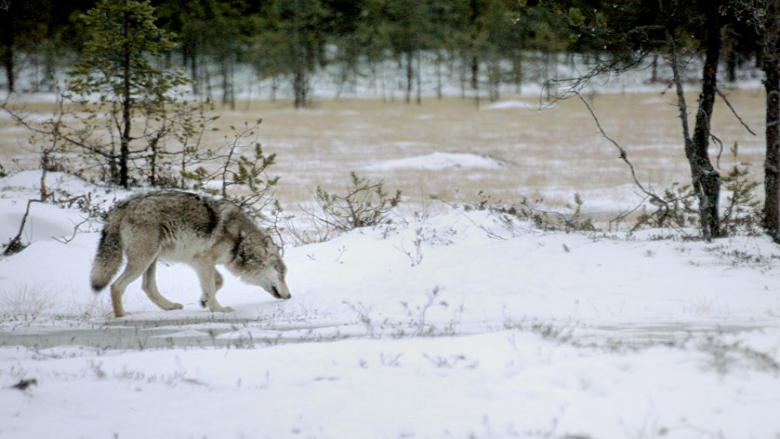 A wolf smelling the ground in a winter landscape.
