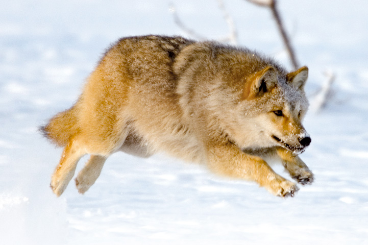 A wolf leaping in a winter landscape.