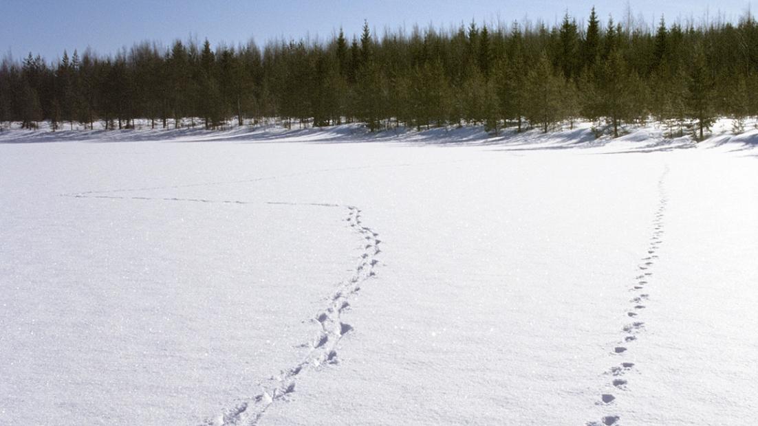 Wolf tracks on snow.