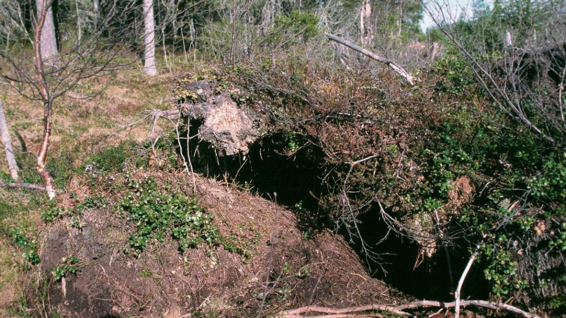 Wolf den under roots.