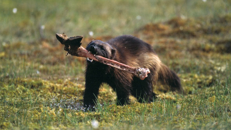 A wolverine running with an elk hoof bone in its mouth.