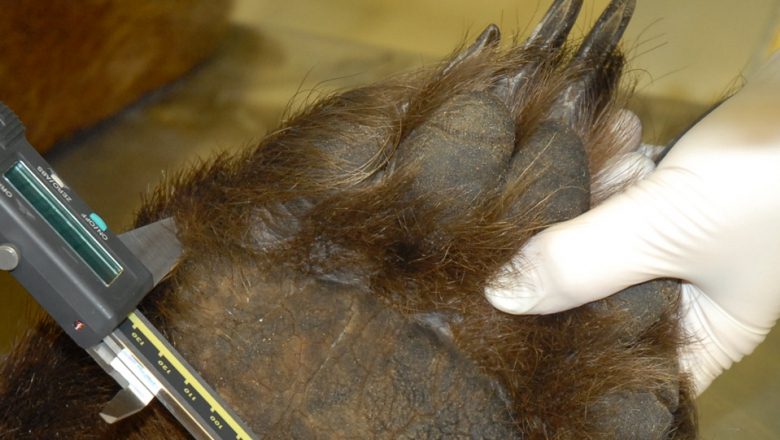 A close-up of a person's hand holding a bear's footprint that is facing outwards. The other hand is holding a metal device that the person is using to measure the size of the foot.