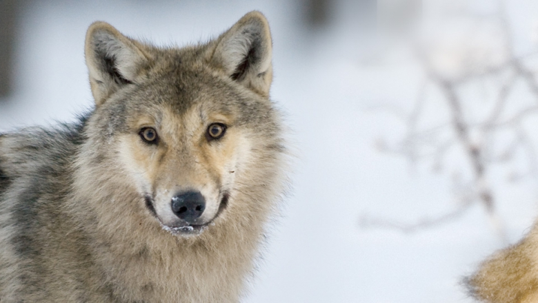 The wolf looks towards. In the background a snowy landscape
