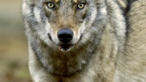 In close-up, the wolf looks closely towards.