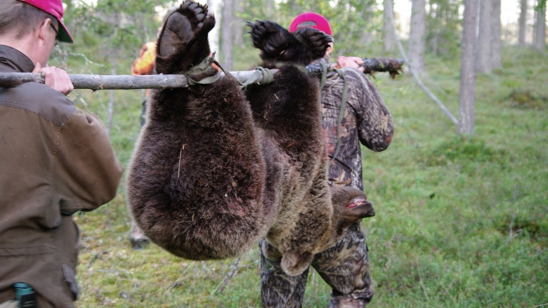 Two men carries a shot bear in a forest.