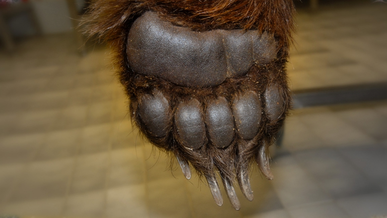 Bear's front paw.