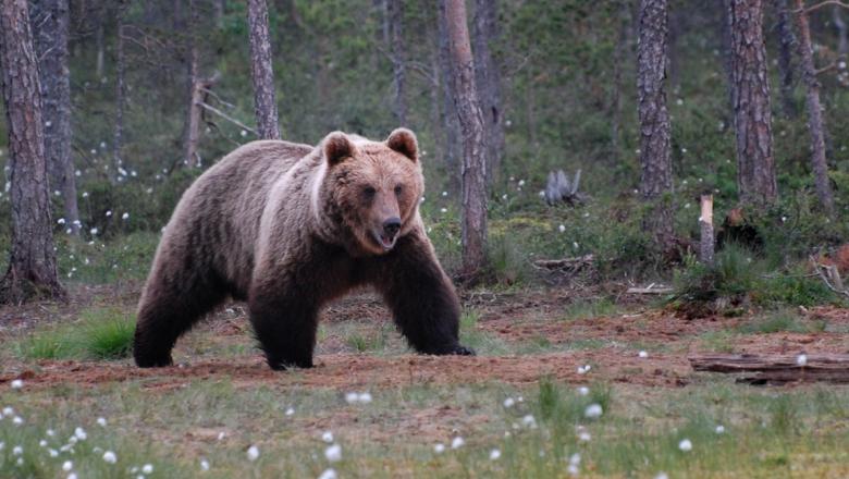 A bear walking in peatlans.