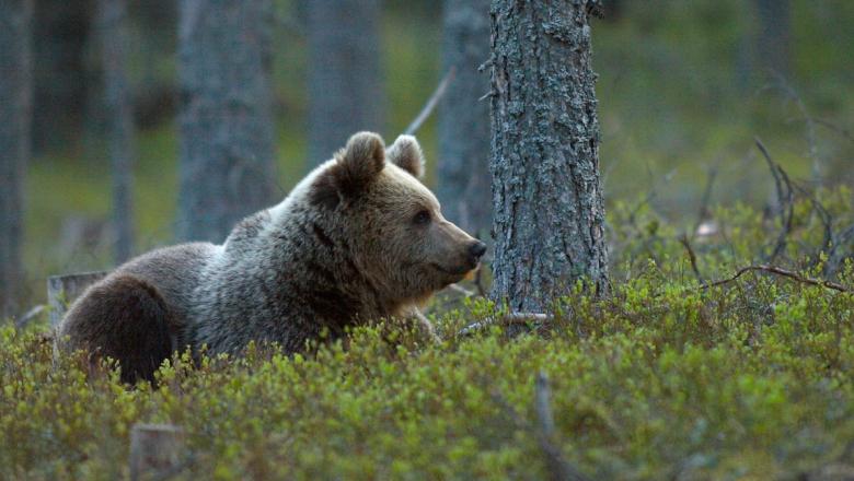 Björnen ligger i baldakinen och ser till höger.