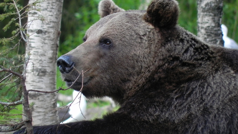 A large bear with its left paw resting on the branch of a birch tree. Another birch tree is in the background.