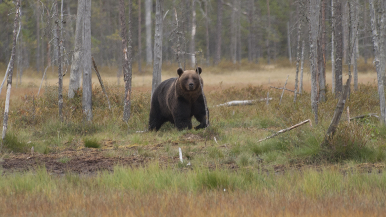 A large brown bear looking at the viewer. A mire with coniferous trees growing in it is in the background.