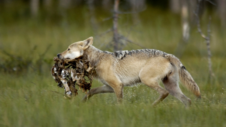 A wolf walking with carrion in its mouth.