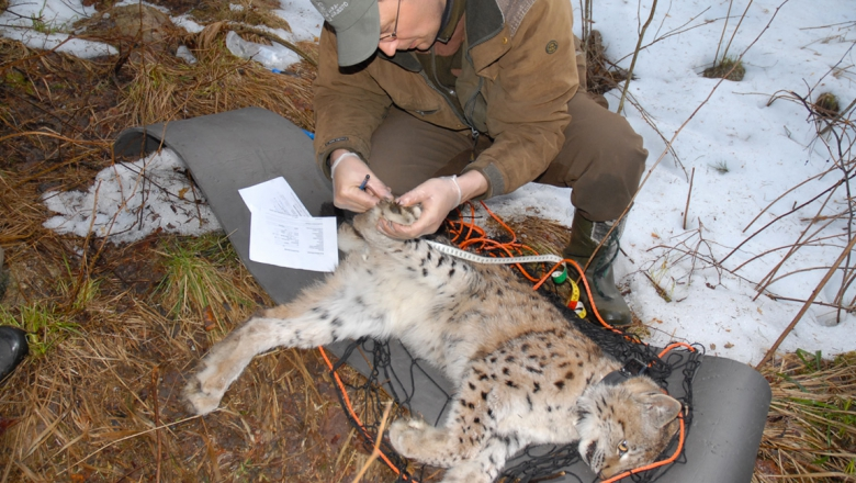 A tranquilised lynx lies on the ground. A man with a cap examines one of the rear paws with a tape measure and pen in his hand.