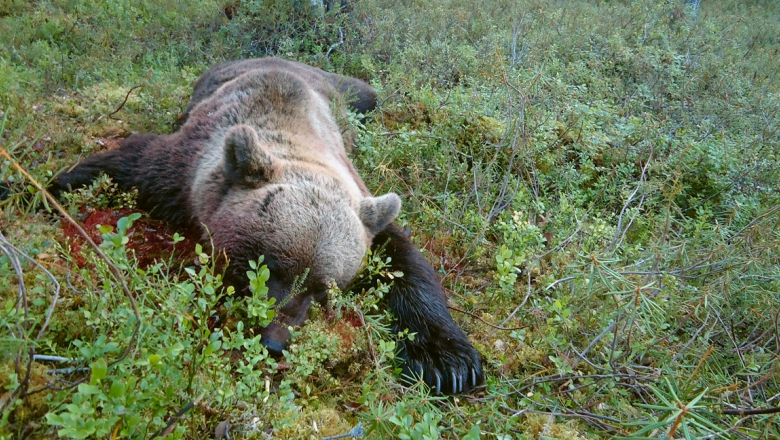 A dead, bloody bear lies on its stomach in the woods, on a tussock.