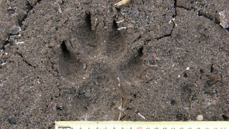 The footprint of a wolf in sandy ground. Beside it is a measuring tape that shows the footprint is about 10 cm wide.