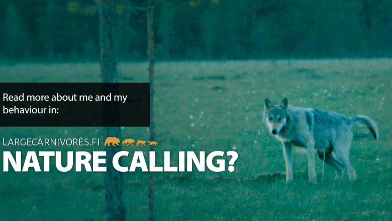 A urinating wolf looking at the camera. Superimposed on the image is the text: Nature calling?