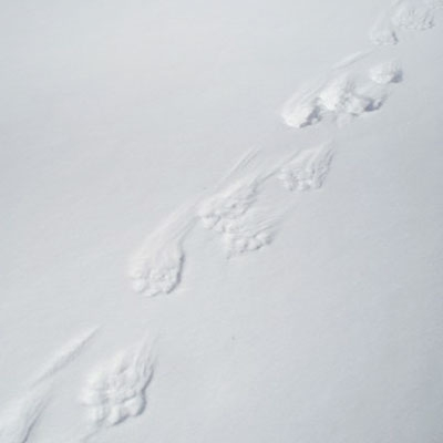 Wolverine tracks on a crusted spring snowbank.