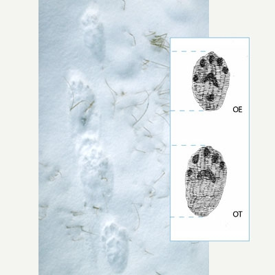 Wolverine tracks in the snow show the impression of five carpal pads. Next to the photo, an illustration of the tracks.