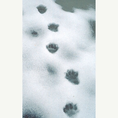Five-toe marks in packed snow.