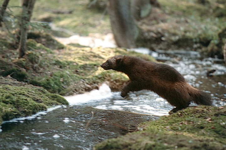 Wolverine jumping over a forest stream.