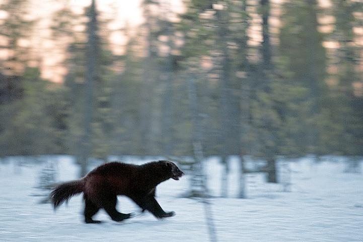 Wolverine running in a snowy forest.
