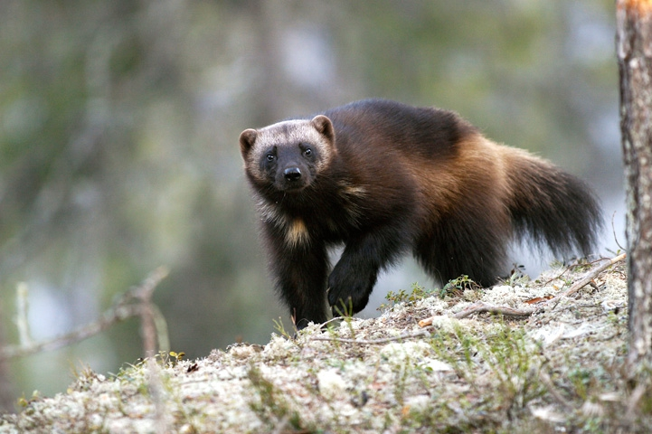 Wolverine on a forest rock, looking at the camera.