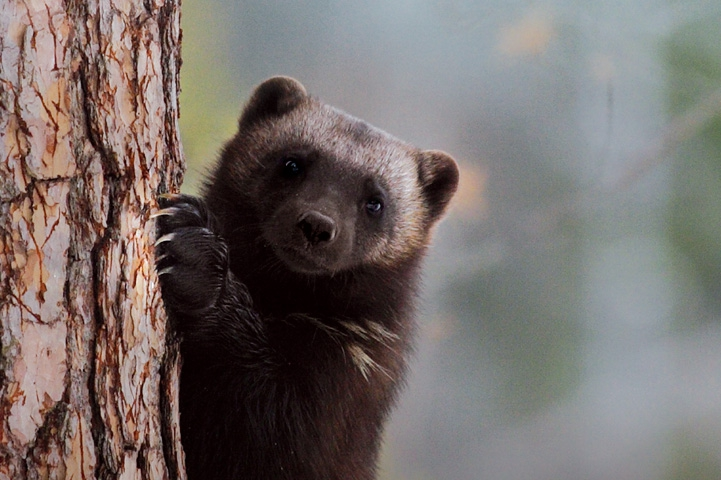 Close-up shot of a wolverine standing up, looking at the camera and holding onto the truck of a spruce with its front paws.