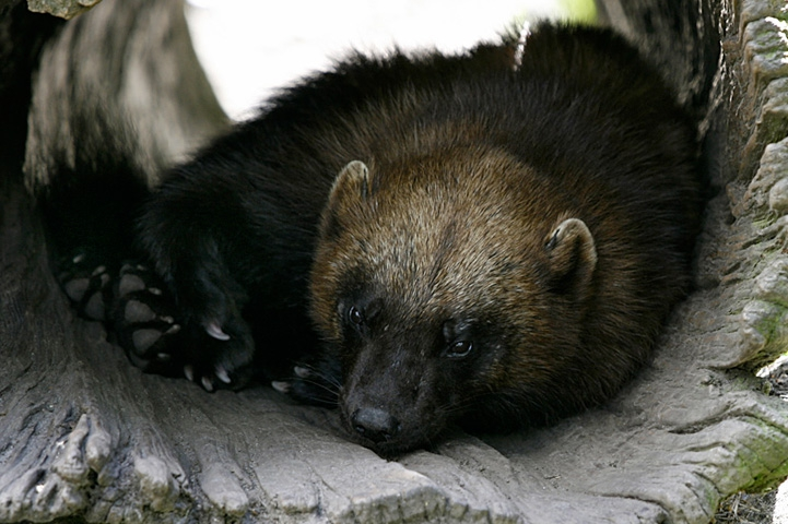 Close-up shot of a wolverine resting, curled up in the hole of the tree.
