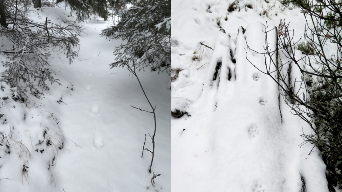 Two images, side by side. Both show lynx tracks in snow. The paws have touched down almost exactly in line with each other.