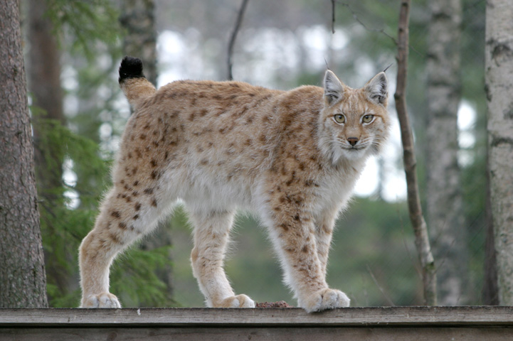 Lynx standing on a wooden shelter, looking at the camera. A forest is in the background.