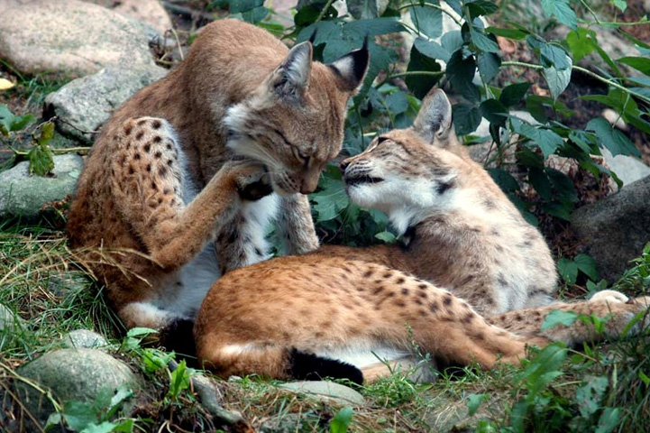 Two lynxes lying on rocky ground, surrounded by vegetation. The lynx in front is looking at the lynx behind it, which is licking its hind paw.