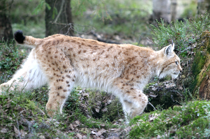 Lynx running through a summer forest.