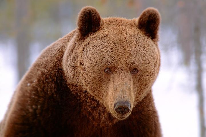 Brown bear's face