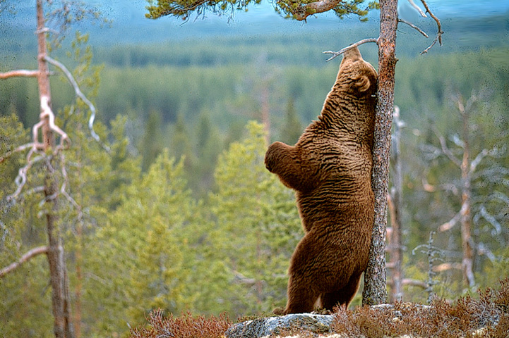 The bear scratches its back against a tree